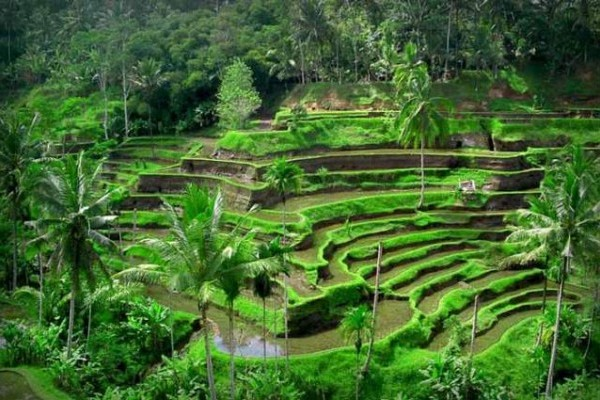 tegallalang-rice-terrace-bali-tour-packages-bali-tour-organizer