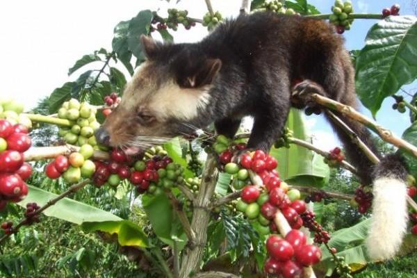 bali-tour-package-bali-tour-organizer-coffee-plantation