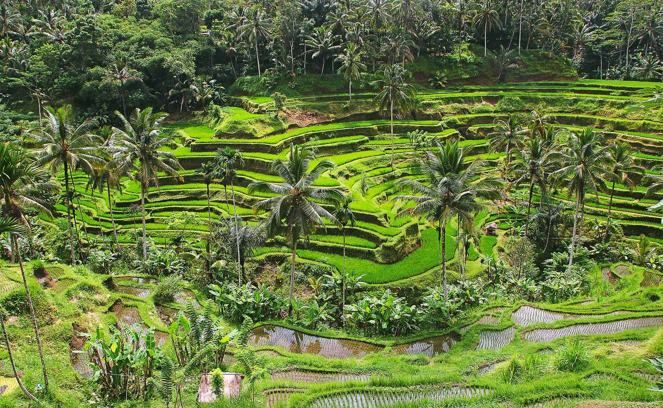ubud-rice-field